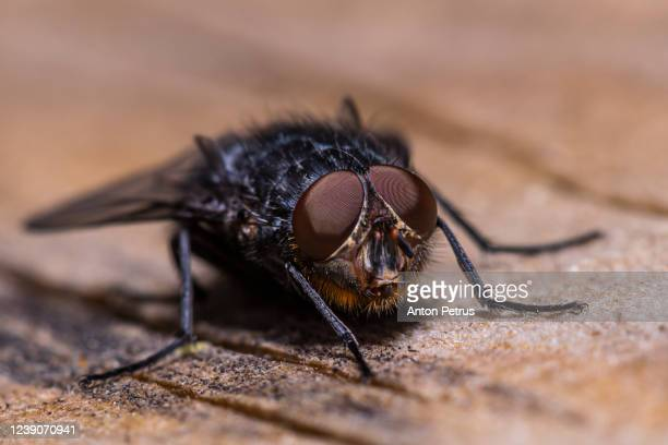 stable fly (stomoxys calcitrans) on a leaf - bubonic plague stock pictures, royalty-free photos & images