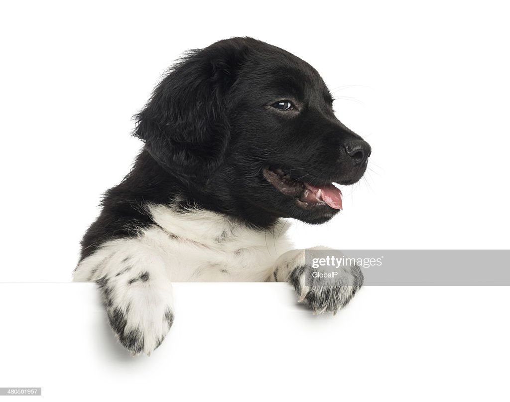 Stabyhoun puppy panting, leaning on a white board : Stock Photo