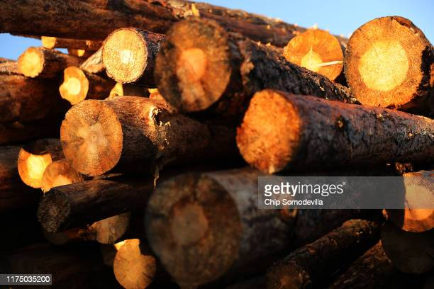 A stack of 25 truckloads of mountain pine beetlekilled ponderosa pine logs are stacked at Juice Custom Cutting logger Dallis Hunter's outdoor saw...