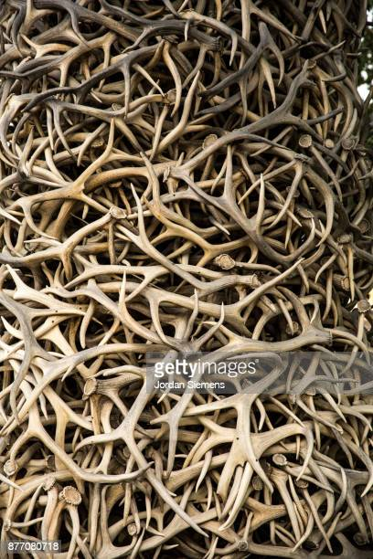 a stack of elk antlers - animal bones stock photos and pictures