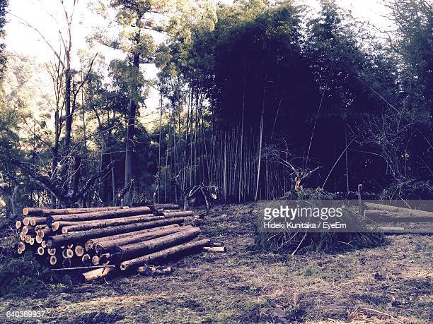 Stack Of Logs And Trees In Forest
