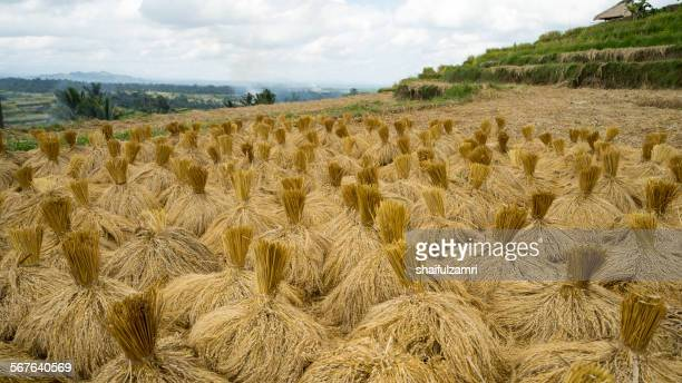 stack paddy - shaifulzamri stock pictures, royalty-free photos & images
