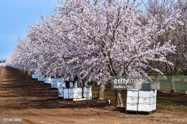 stacked beehives aid in the pollination of almond blossoms in northern california almond orchard - 養蜂 ストックフォトと画像