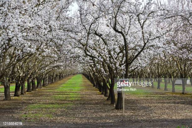 stacked beehives to aid in the pollination of almond blossoms in northern california almond orchard with no trespassing sign posted. - feeding america stock pictures, royalty-free photos & images