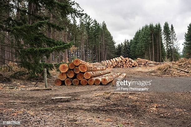 Stacks of logs in a forest