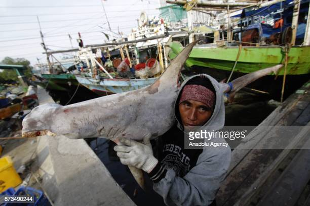 A staff carries a shark fished from Indonesian waters to send them Muara Angke fish market inJakarta November 13 2017 Although most species of sharks...