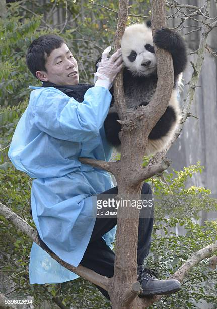 A staff checks Giant Panda at Chengdu Research Base of Giant Panda Breeding in Chengdu Sichuan China on 8th March