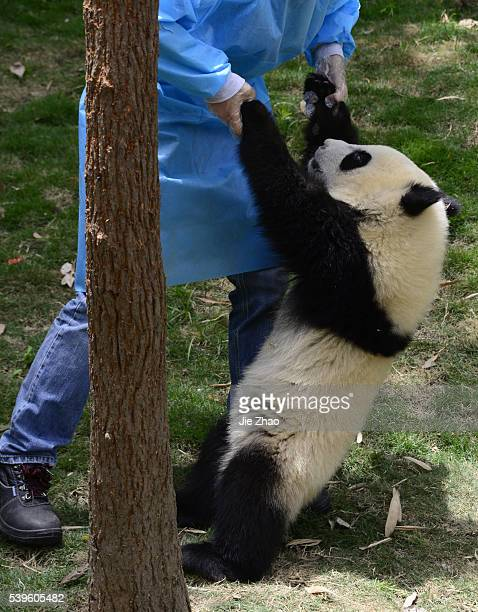A staff checks Giant Panda at Chengdu Research Base of Giant Panda Breeding in Chengdu Sichuan China on 11th May 2015