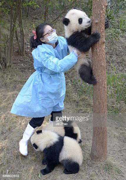 A staff checks Giant Pandas at Chengdu Research Base of Giant Panda Breeding in Chengdu Sichuan China on 8th March