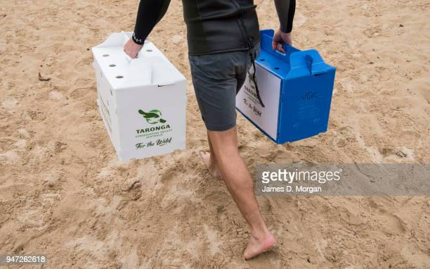 Staff from Taronga Zoo carry the crates containing Little Penguins at Shelly Beach on April 17 2018 in Sydney Australia The five Little Penguins were...