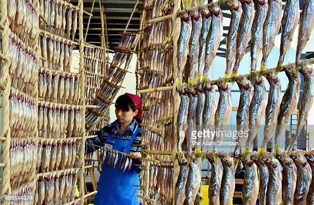 A staff hangs shishamo fishes to dry on November 11 2014 in Mukawa Hokkaido Japan