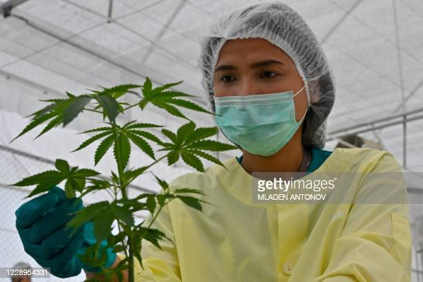 Staff holds a cannabis plants at the Government Pharmaceuticals Organisation medicinal marijuana greenhouse outside Chon Buri, south of Bangkok on...