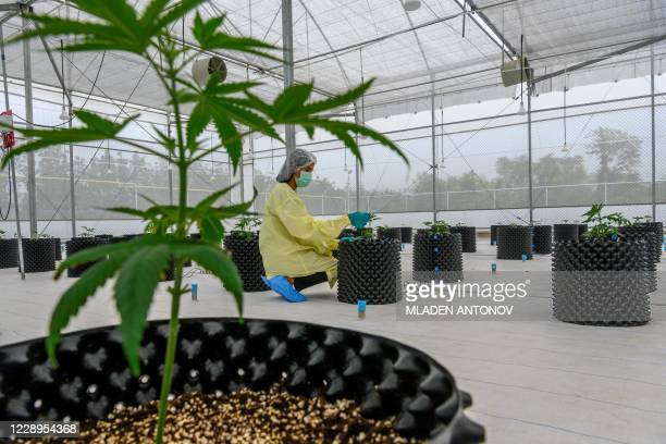 Staff inspects a cannabis plant at the Government Pharmaceuticals Organisation medicinal marijuana greenhouse outside Chon Buri, south of Bangkok on...