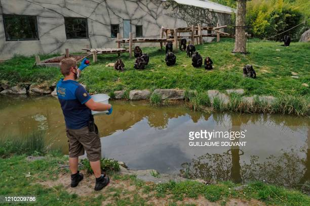 A staff member feeds chimpanzees inside the enclosure on April 16 2020 at the empty zoological park of Beauval in SaintAignansurCher on the 31st day...
