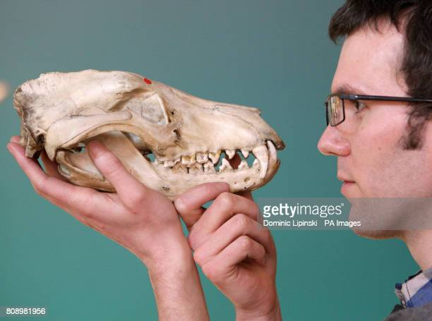 UCL Staff Member Jack Ashby looks at the skull of a Thylacine also known as a Tasmanian Tiger which became extinct in 1936 part of the Grant Museum...