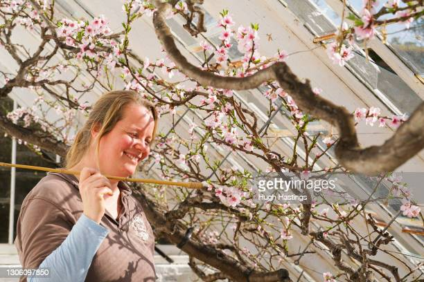 Staff member Katie Kingett hand pollinates a peach tree at Heligan Gardens on March 08, 2021 in St Austell, England. The Lost Gardens of Heligan are...