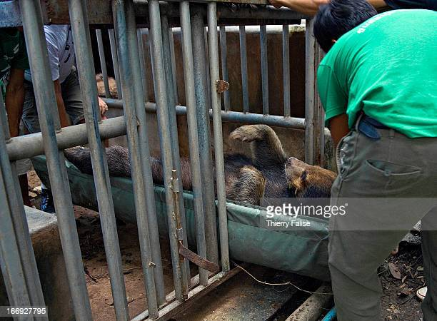 Staff members and volunteers from the Kao Look Chang Wildlife Rescue Center carry Fai a 16year old male Asiatic Black Bear after giving it...