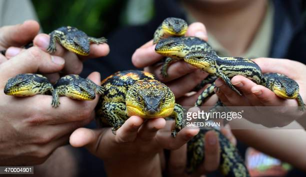 Staff members hold a mother Blotched BlueTongue lizard and its seven babies during their first time display at the Wild Life Sydney Zoo on February...