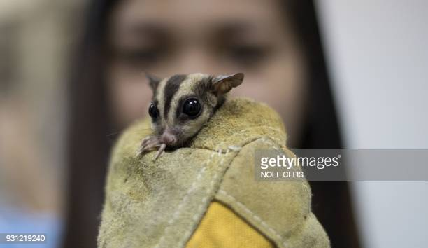 A staff of Ninoy Aquino Parks and Rescue Center holds a rescued sugar glider in Manila on March 13 2018 Philippine environment authorities have...