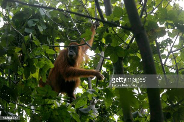 Staff of Orangutan Information Center catch Sumatran orangutan that stuck in plantation and moved it to natural forests in Leuser Ecosystem on June...