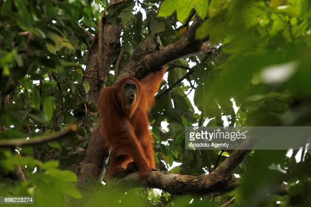 Staff of Orangutan Information Center catchs Orangutan Sumatra that stuck in plantation and moved it to natural forests in Leuser Ecosystem Aceh...