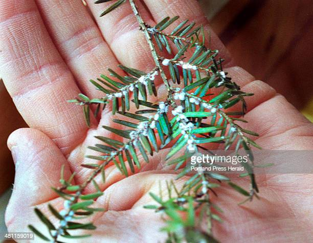 Staff Photo by Doug Jones Tue Jun 06 2000 Eggs of the woolly adelgid pest enemy of Maine's native hemlock stock as demonstrated by Don Oullette state...