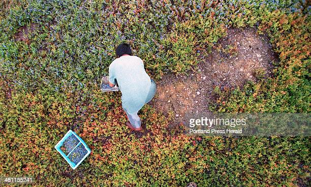 Staff photo by Gregory Rec Friday August 17 2001 Vidal Carpio makes progress through a patch of blueberries passing his rake through the low bushes...