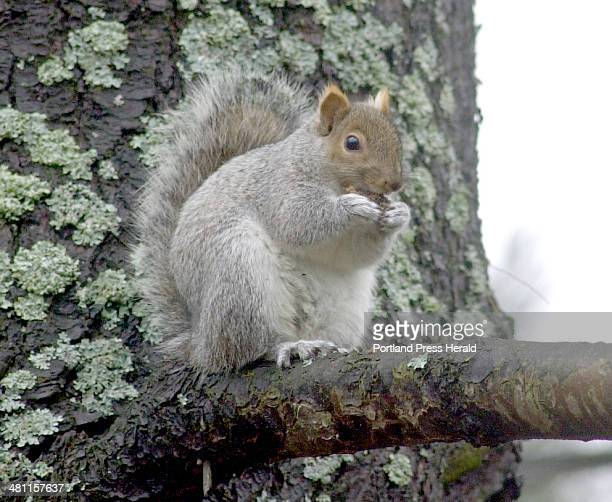 Staff Photo by Herb Swanson Monday November 26 2001 A gray squirrel chews on an acorn early Monday morning in Portland The small tree dwelling...