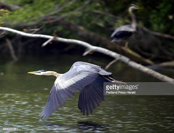 Staff Photo by Herb Swanson Wednesday June 30 2004 A great blue heron flies down the Androscoggin River while another stands quietly on the shoreline...