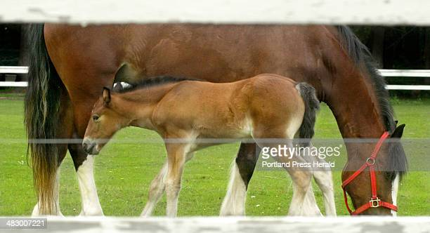 Staff Photo by Jill Brady Thursday June 17 2004 Daisy a Clydesdale cross owned by Libby Bayley of Scarborough grazes while her two weekold foal...