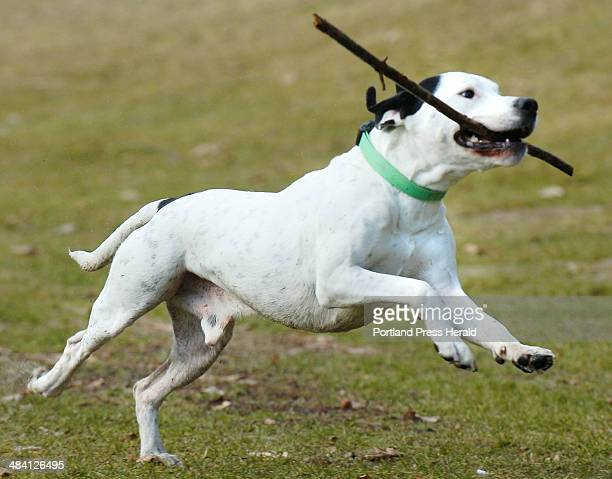 Staff Photo by John Ewing Friday January 20 2006 Buddy a Mastiff/Dalmation mixed breed dog retrieves a stick while out for an exercise run with his...