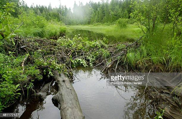 Staff Photo by John Ewing Wed Aug 01 2001 A beaver dam blocks most of the flow from the outlet of Johnson Pond in Piscataquis County