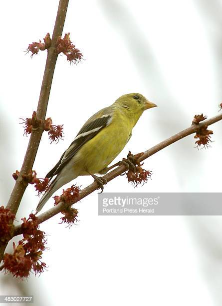 Staff Photo by John Patriquin Tuesday April 18 2006 Sure sign of spring is this american goldfinch turning its yellow coloring perched on a budding...