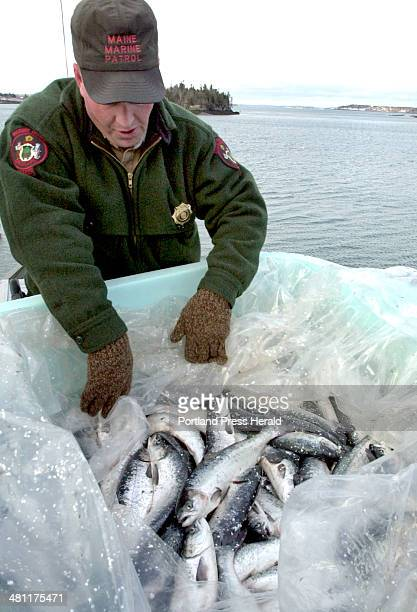 Staff Photo by John Patriquin Wednesday January 16 2002 Maine Marine Patrol officer Russell Wright inspects a load of salmon removed from pens off...