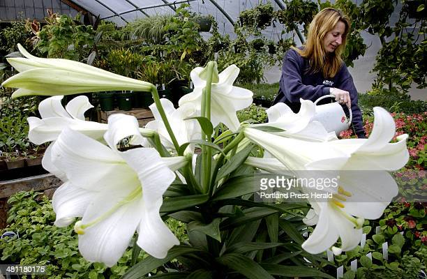 Staff Photo by Shawn Patrick Ouellette Fri Apr 18 2003 Kathy Libbey of Moody's Nursery waters Oxalis 'Iron Cross' as a few Easter lilies remain at...