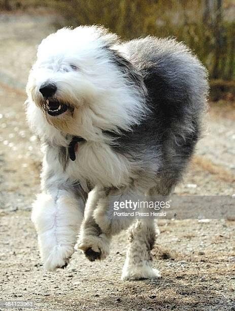 Staff photo / JIM EVANS Bear an old English sheepdog from Pittston is the star of movie shot in Bethel The Twelve Dogs of Christmas Bear is owned by...