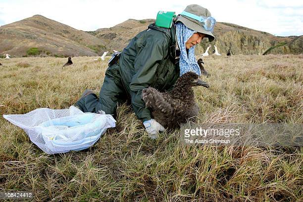 A staff releases a young shorttailed albatross at Mukojima on February 19 2008 in Ogasawara Tokyo Japan This is the part of the Environment Ministry...