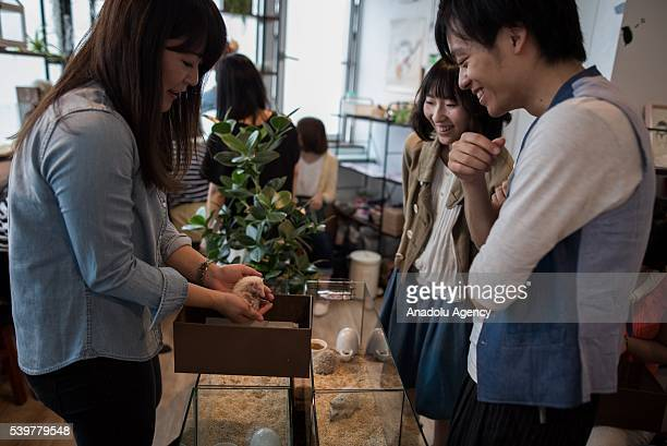 A staff shows a hedgehog to customers at Harry Hedgehog's cafe in Roppongi district of Tokyo Japan on June 12 2016 The hedgehog's cafe is one of the...