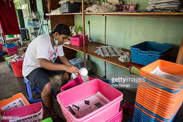 A staff worker puts sands in litter box at Villa Kitty on November 26 2013 in Ubud Bali Indonesia Villa Kitty established on March 17 2011 initiated...