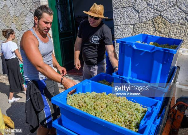 Staffers carry into the winery Alvarinho grapes harvested by foreign tourists and local volunteers at the experimental vineyard and winery of the...