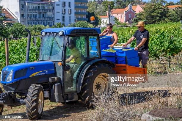 Staffers ride on a small tractor carrying Alvarinho grapes harvested by foreign tourists and local volunteers at the experimental vineyard and winery...