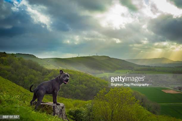 A Stafford Bull Terrier enjoying a beautiful view