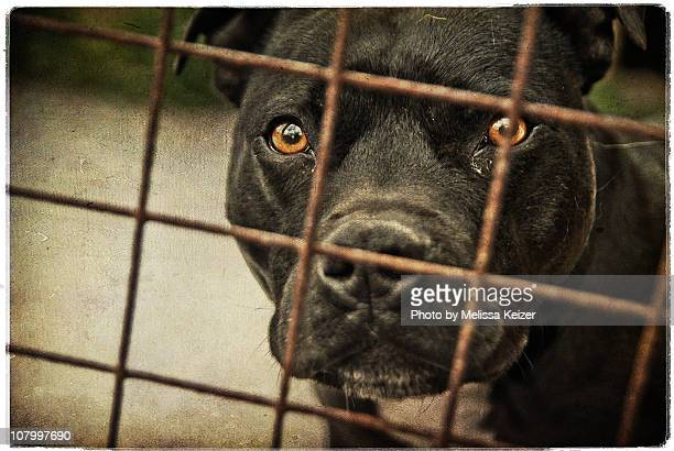 Staffordshire bull terrier behind bars