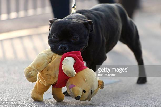 Staffordshire Bull Terrier carrying a WinniethePooh toy in it's mouth arrives for the final day of Crufts 2016 on March 13 2016 in Birmingham England...