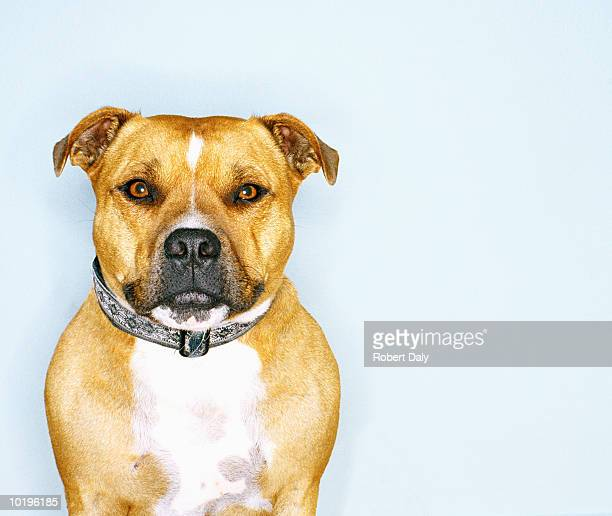 staffordshire bull terrier, close-up - staffordshire bull terrier stock pictures, royalty-free photos & images
