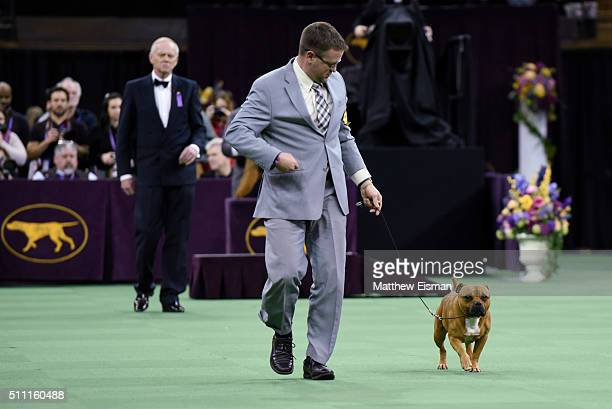 A Staffordshire Bull Terrier competes in the Terrier Group during the second day of competition at the 140th Annual Westminster Kennel Club Dog Show...