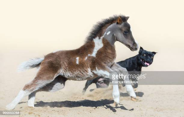 Staffordshire Bull Terrier dog and American miniature foal.