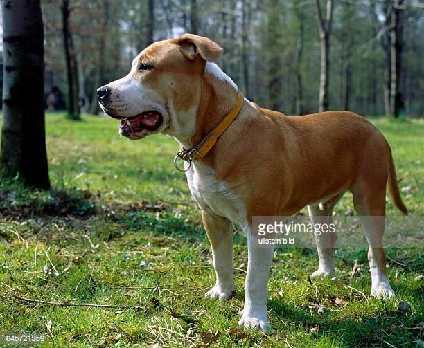 Staffordshire Bull Terrier im 17 Jahrhundert als Kampfhund eingesetzt als unerschrockener Kaempfer der sich bis zur Selbstaufgabe einsetzt Muss daher...