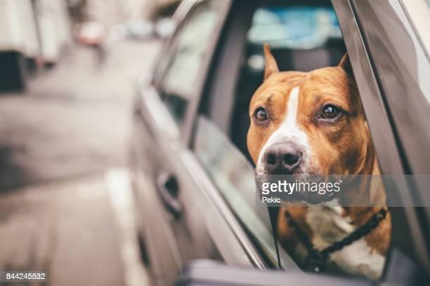 staffordshire bull terrier dans la voiture - pit bull photos et images de collection