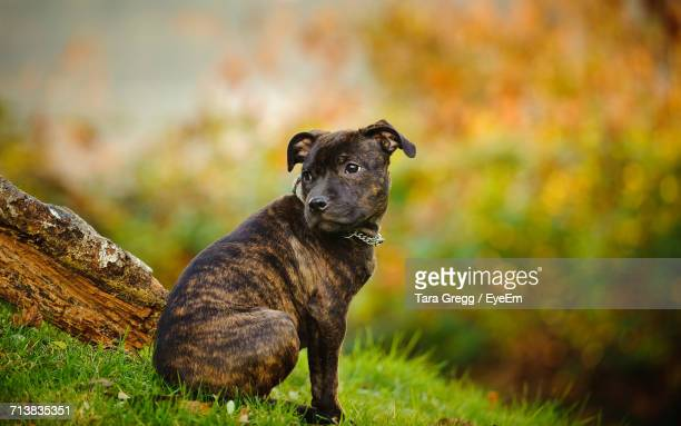 staffordshire bull terrier looking away on field - staffordshire bull terrier stock pictures, royalty-free photos & images